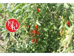 中国枸杞种植基地