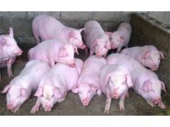 仔猪基地批发价格 生猪肥猪市场价格行情