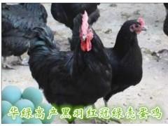 高产黑羽绿壳蛋鸡黑鸡苗湖北华绿长期供应及报价