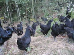 麻羽绿壳蛋鸡品种价格养殖技术、养殖前景