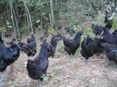 五黑鸡-五黑鸡苗-绿壳蛋鸡苗-批发/报价-首先湖北华绿禽业