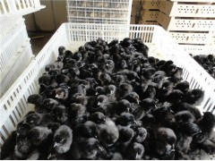 养殖绿壳蛋鸡的发展前景,绿壳蛋鸡苗养殖技术湖北华绿禽业