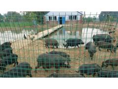 供应禾泰肉品藏香猪有机养殖基地