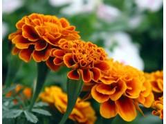 叶黄素 含量35% 资质齐全 食品级 优质叶黄素