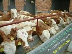 良种肉牛犊优质奶牛大量出售