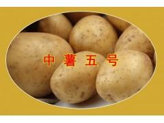 唐山玉田灯笼椒 柿子椒 菜椒 专业种植基地