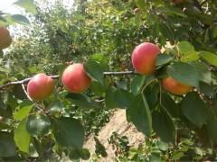 2017早熟杏子产地价格,丰园红杏基地批发