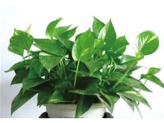 绿萝提取液 100%含量 绿萝原液 天然绿萝提取