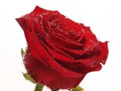 代加工玫瑰果提取物、玫瑰果浓缩粉 欢迎来工厂参观