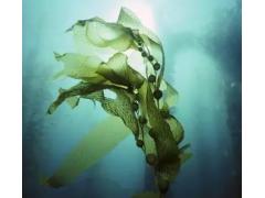 海藻提取物   海藻多糖 UV50%