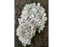 灰树花 菌种 母种 一级种 试管种 食用菌菌种 绒绒嘉园