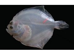 鱼类放流标记 VIE鱼类荧光标记 放流标记厂家直销
