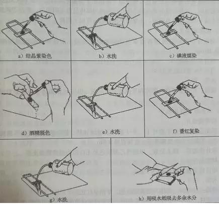 其步骤包括初染,媒染,脱色,复染四个步骤,主要步骤如图所示: 部分细菌