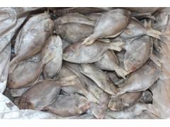 供应北海强宇厂家直销单冻南鲳鱼,肉鲳鱼,刺鲳鱼