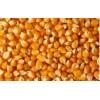 饲料厂大量收购玉米