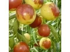 铭途枣业大量批发供应早熟冬枣鲜冬枣