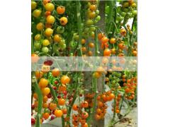 种子企业现代立新推荐特色水果黄色西红柿种子黄小蜜