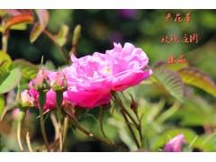 玫瑰花露(提取物),产地直销,资质齐全