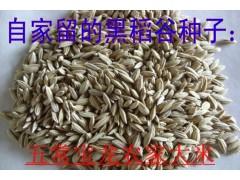 黑珍珠种子黑米稻种子东北黑珍珠稻籽黑米种子