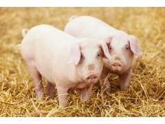 育肥猪长得快 优农康为您节省饲料成本
