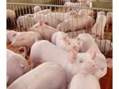 育肥猪怎样快速催肥 优农康添加剂催肥利器