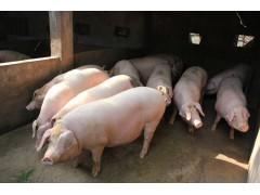猪快速催肥方法 优农康添加剂喂猪效益高