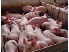 育肥猪增重 育肥猪专用饲料添加剂