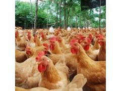 鸡饲料添加剂让鸡长得快 降低饲料成本