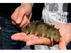 海参吃这个长得快 优农康专注海参饲料添加剂