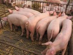 育肥猪不吃食怎么办 优农康促进消化吸收