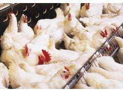 肉鸡催肥添加剂 优农康微生态促生长