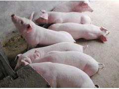 育肥猪长得快 认准优农康微生态