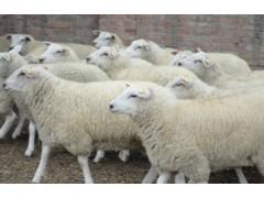 肉羊育肥使用优农康 养殖户都说好