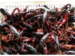 鲜活小龙虾 红虾 小龙虾批发