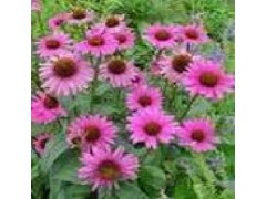 紫锥菊提取物 厂家现货各种规格