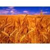 崇州蜀窖声誉酿酒公司长期采购玉米小麦高梁等