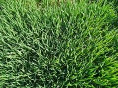 小麦苗提取物 小麦苗浓缩粉 小麦苗浸膏粉