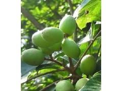 橄榄苦甙10%橄榄提取物供应