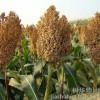 四川蜀窖声誉酿酒公司求购大量玉米小麦高梁*木薯淀粉
