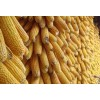 成都金富楼酒厂求购小麦高梁玉米木薯淀粉碎米糯米