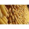 金富楼酒厂长期大量求购小麦高梁玉米木薯淀粉