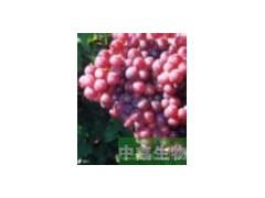 供应葡萄籽提取物  原花青素95%