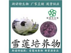 【新食品原料】雪莲培养物 愈伤组织 天山雪莲