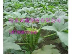 黄秋葵种子