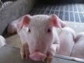 原料涨价带动饲料涨价 生猪养殖利润空间缩小