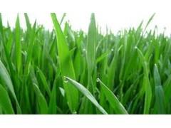 大麦苗粉 99% 喷雾干燥 速溶粉 厂家现货直销