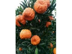 丑瓜桔发财桔种植果苗基地