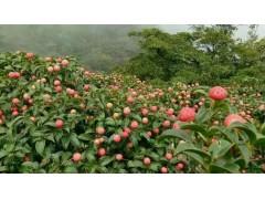 供应山野果石枣种植