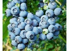 蓝莓种植技术蓝莓种植前景