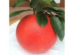 金红蜜柚苗批发金红蜜柚的营养